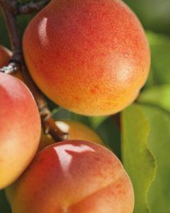 abricots brm production agricole