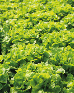 salades brm production agricole