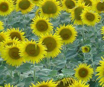 bike-trip-in-sunflower-around-alpilles-van-gogh-saint-remy