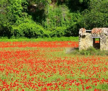 walking-among-red-poppy-in-provence-countryside