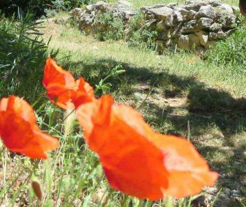 guided-trip-for-walkers-on-easy-trails-in-provence-with-poppies-wild-flowers-in-olivgroves-vineyards-van-gogh-region-saint-remy-provence