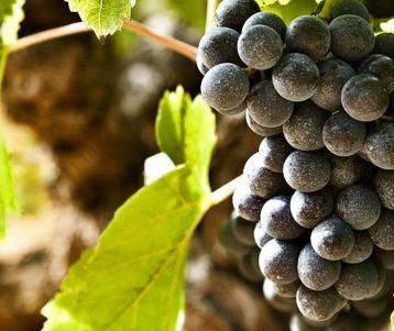 walk-famous-vines-chateauneuf-du-pape-provence