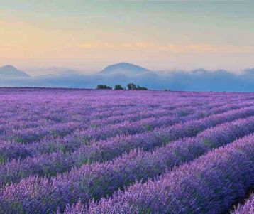 walking-trip-lavender-field-of-the-abbaye-of-senanque-next-to-the-amazing-perched-village-of-gordes-one-of-the-most-beutiful-village-of-provence