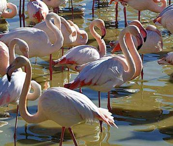 cycling-trip-in-camargue-provence-with-flamingo-flamingoes