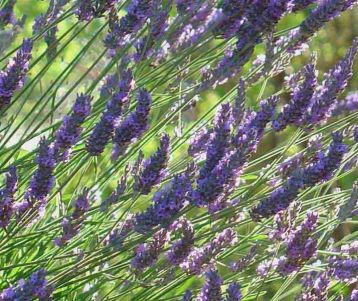 Walking Guided - Lavender Tour: a limited-time walking holiday!