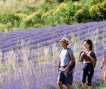 walking-lavender-fields-provence-region-sault-montbrun-ventoux-valensole
