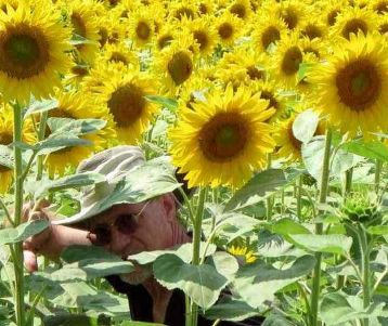 walking-van-gogh-alpilles-provence-in-the-sunflower