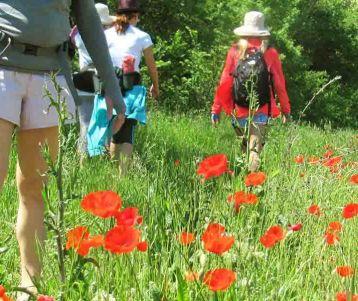 walk-in-poppies-olive-groves-vineyards-van-gogh-region