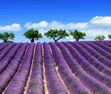 Self drive: 100% lavender FIELDS OF PROVENCE