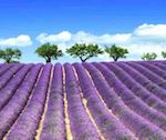 Walking Guided - Provence and Lavender tour
