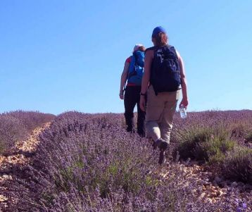 walking-lavender-field-provence-region-sault