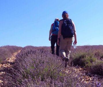 walking-lavender-field-provence-region-sault