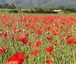 poppy-vineyards-blanketing-luberon-provence