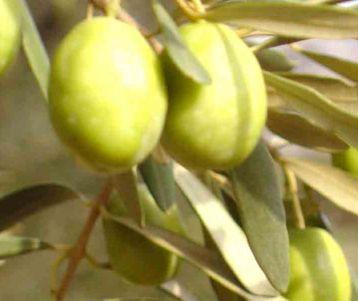 olive orchard provence saint remy