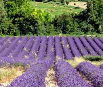 hike-lavender-trails-in-the-region-of-sault-heart-of-provence-gourmet-tour-sea-of-lavender-provence