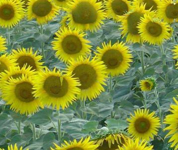 cycling-tour-in-van-gogh-region-alpilles-saint-remy-sunflower