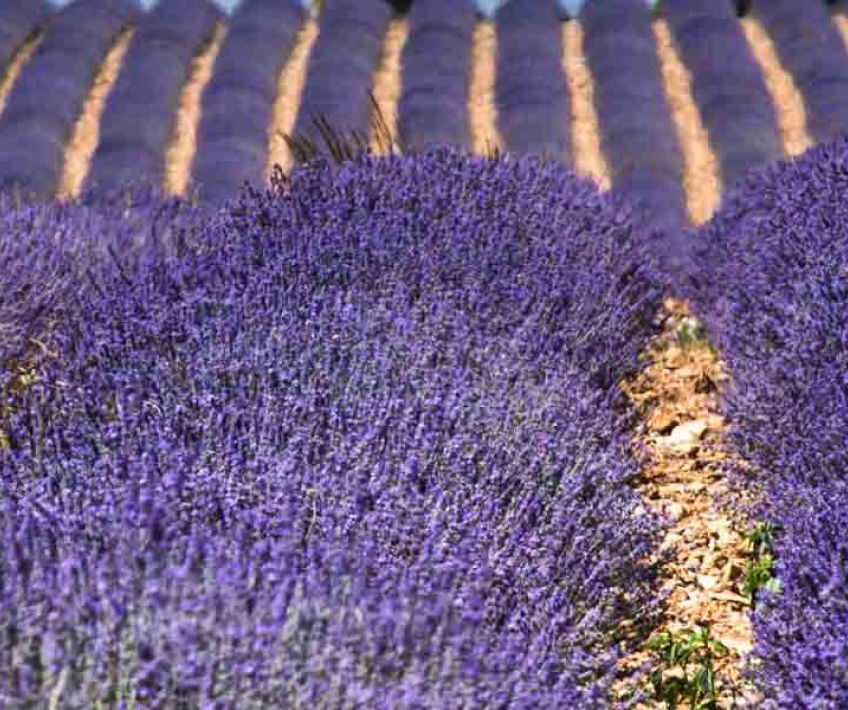 Individual Self-guided - Lavanda en Provenza