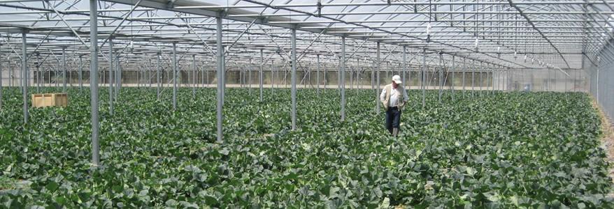 Brm production agricole producteur et exp diteur de - Culture du melon charentais ...