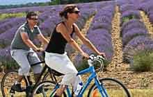 biking in the lavender fields