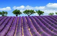 lavender fields in bloom in provence