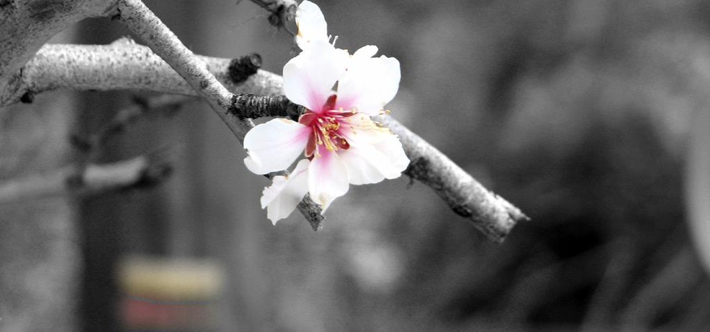 blog-almond-blossom-provence.jpg