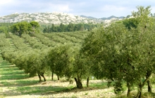 olive oil provence holidays summer south of france recipes with olives