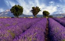 valensole lavender