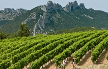 walk in the vineyards of gigondas vacqueyras at the foot of the dentelles famous cotes du rhones