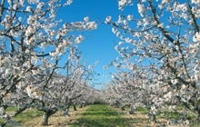 venasque famous perched village pernes les fontaines beautiful cherry orchards in blossom