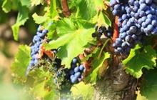 gigondas et son vin rouge réputé magnifique village des dentelles vue sur les vignobles