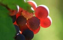 gigondas vacqueyras wine cycling in the vineyards