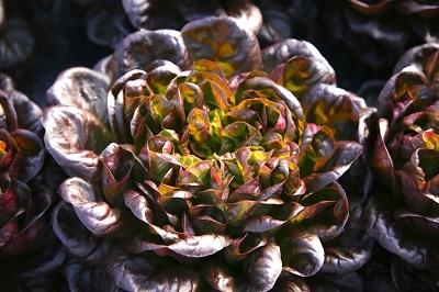 Salade multifeuilles rouge